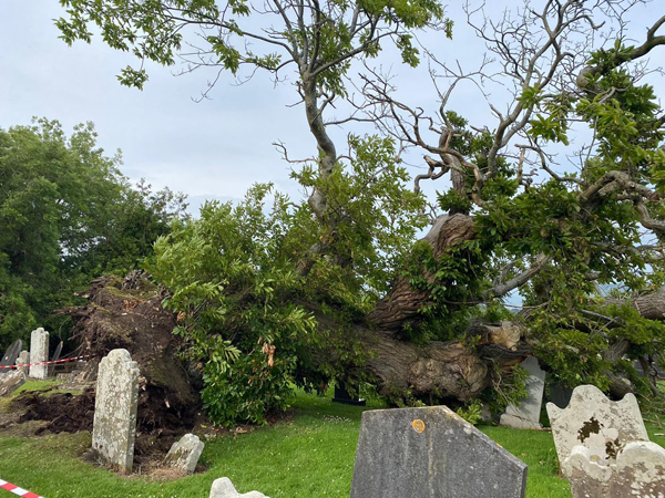 Historic tree uprooted in Cairncastle graveyard